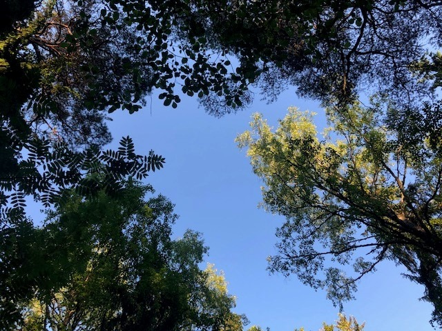 puunlaittvoja, joissa näkyy alkukesän lehdistö, sinistä taivasta vasten.