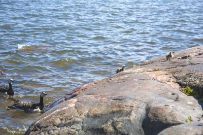 Poikue kalliorannalla Kanervon blogitekstiin